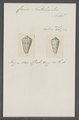 Conus natalis - - Print - Iconographia Zoologica - Special Collections University of Amsterdam - UBAINV0274 087 02 0022.tif
