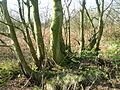 Coppiced Tree.JPG