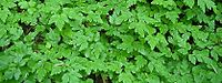 Coptis aspleniifolia.jpg