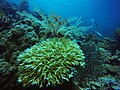 Coral, Hydroid and Gorgonian.jpg
