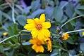 Coreopsis auriculata Nana 1zz.jpg