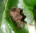 Coreus marginatus. - Flickr - gailhampshire.jpg
