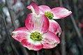 Cornus florida var 4zz.jpg