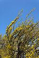 Cornus mas in Blüte Hegerberg 02.JPG