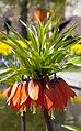 Corona imperial (Fritillaria imperialis), Jardín Botánico, Múnich, Alemania 2012-04-21, DD 01.JPG