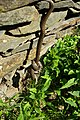 Coronella austriaca 01 by-dpc.jpg