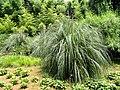 Cortaderia selloana - Kunming Botanical Garden - DSC03105.JPG