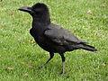 Corvus in Horton Plains National Park 02.JPG