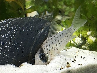 Corydoras atropersonatus - Corydoras Atropersonatus