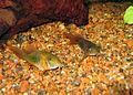 Corydoras aeneus 2 PiaH.jpg