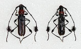 <i>Cosmisoma</i> Genus of beetles