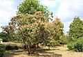 Cotinus coggygria in garden of Bateman's.jpg