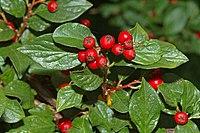 Cotoneaster acuminatus - berries (aka)
