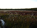 Cotton-grass-water-bog - West Virginia - ForestWander.jpg