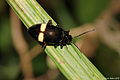 Could be a Leaf beetle (Chrysomelidae) from a papuan mountain rainforest (5420151721).jpg