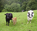 Cows and calf.JPG