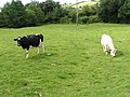 Cows at Burn - geograph.org.uk - 1434425.jpg