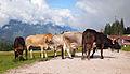 Cows on Ehrwalder Alm 5.jpg