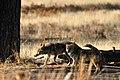 Coyote (5500019191).jpg