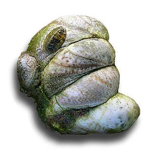 Common slipper shell species of mollusc