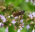 Crabronidae. Mellinus arvensis - Flickr - gailhampshire.jpg