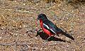 Crimson-breasted Shrike (Laniarius atrococcineus) (6549792107).jpg