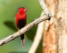 Crimson Finch 2976.jpg