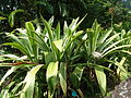 Crinum asiaticum 1 (1).jpg