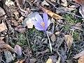Crocus nudiflorus flower.jpg