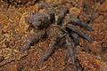 Cuban Bronze Tarantula (Phormictopus auratus) (8575064562).jpg