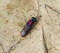 Cuckoo Wasp Chrysididae, probably Chrysura dichroa. Chrysididae (32462811521).jpg