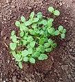 Cucumis anguria - Seedlings.jpg