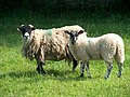 Curious sheep. - geograph.org.uk - 555753.jpg