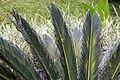 Cycas revoluta 19zz.jpg