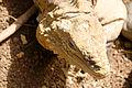 Cyclura nubila in Barbados Wildlife Reserve 02.jpg