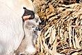 Cygnus olor (Küken) - Arboretum 2011-05-28 18-12-00.JPG