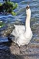Cygnus olor (Küken) - Arboretum 2011-05-28 18-19-28.jpg