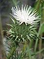 Cynara humilis white (14420866230).jpg