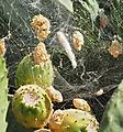 Cyrtophora citricola cocoons - Opuntia 20140815.jpg