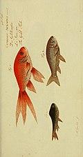D. Marcus Elieser Bloch's, ausübenden Arztes zu Berlin Ökonomische Naturgeschichte der Fische Deutschlands - mit sieben und dreyssig Kupfertafeln nach Originalen (1783) (20361846243).jpg