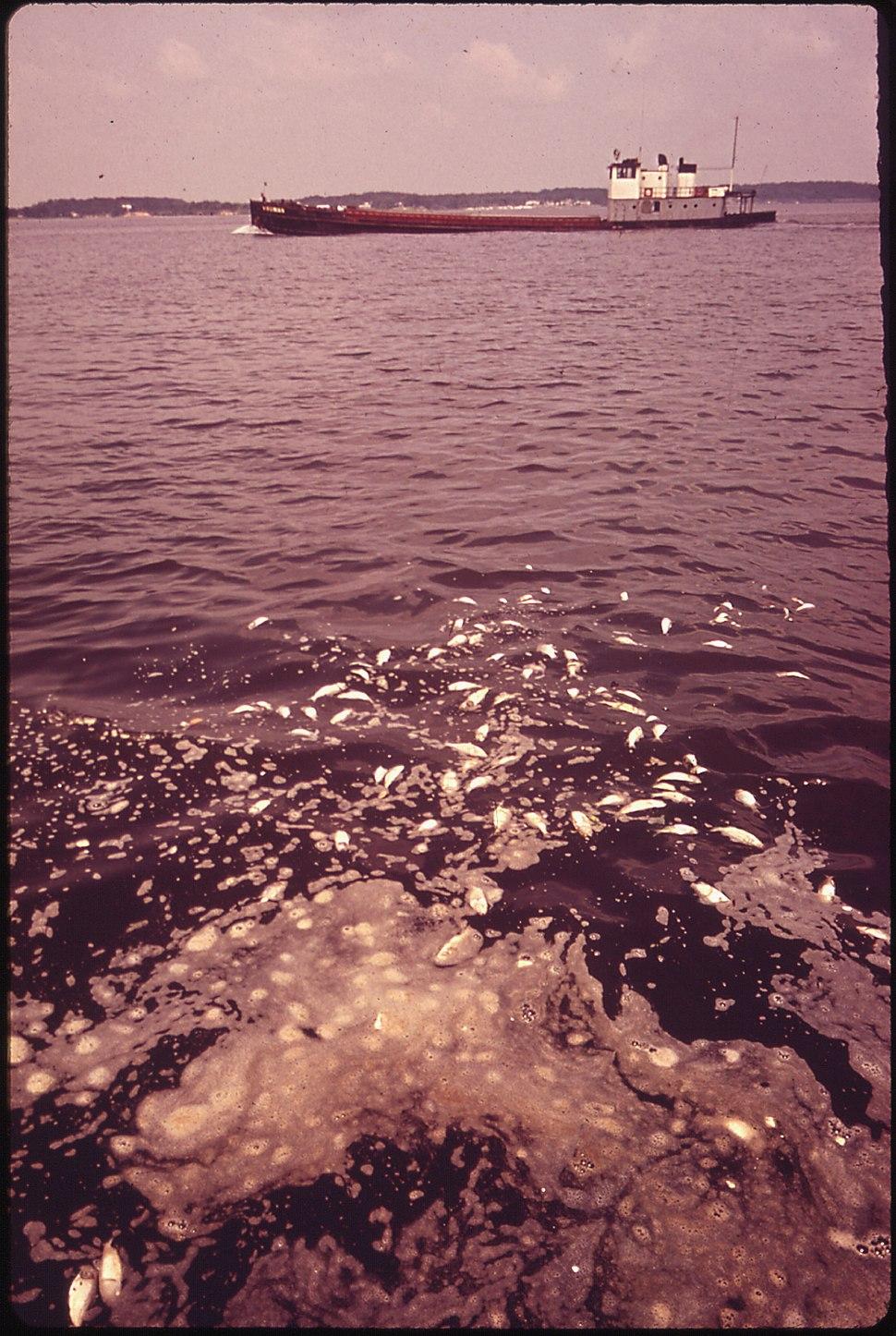 DEAD MENHADEN FLOAT ALONG THE TIDE LINE JUST NORTH OF THE CHESAPEAKE BAY BRIDGE - NARA - 546836
