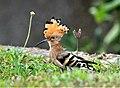 DSC05410 金門常見的鳥類..戴勝WDPA ID 100024.jpg
