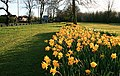 Daffodils in the Evening Sun - geograph.org.uk - 1246920.jpg