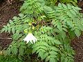 Dahlia imperialis-Jardin des plantes 06.JPG