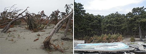 Damage to a control forest in Natori city -11-5-2011-, and a control forest that survived in Ishinomaki city -26-4-2011-.jpg