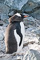 Danco Island Antarctica Gentoo Penguin 4 (32395071507).jpg