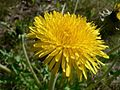 Dandelion flower in grass.jpg