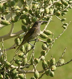 Dark-brown honeyeater.JPG