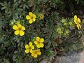 Dasiphora fruticosa, Japan 1.JPG