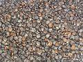 Datura Stramonium seeds.jpg